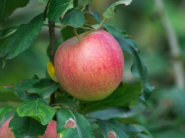Отглеждане на ябълкови дървета жигули