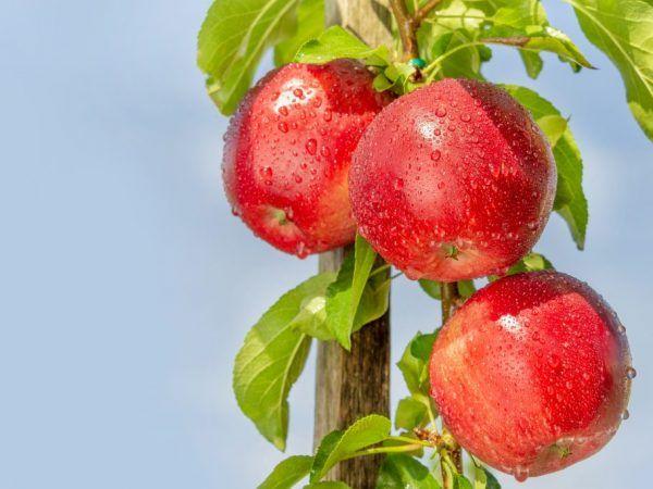 Dobré jablká s náležitou starostlivosťou