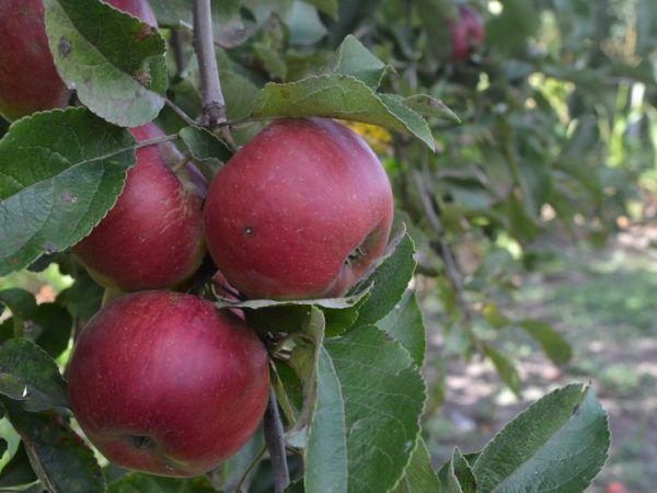 Отглеждане на съзвездие с ябълково дърво във формата на дебело черво