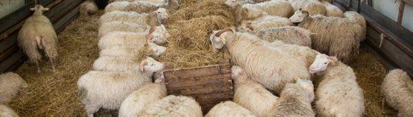 Отглеждане на овце без разходка у дома