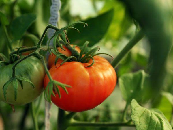 Pestovanie paradajok z ružových rastlín abacan