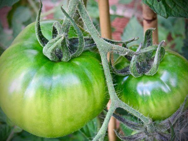 Отглеждане на домати юсуповски