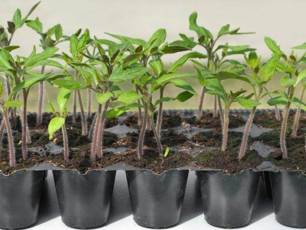 Вирощування томата цукровий бізон
