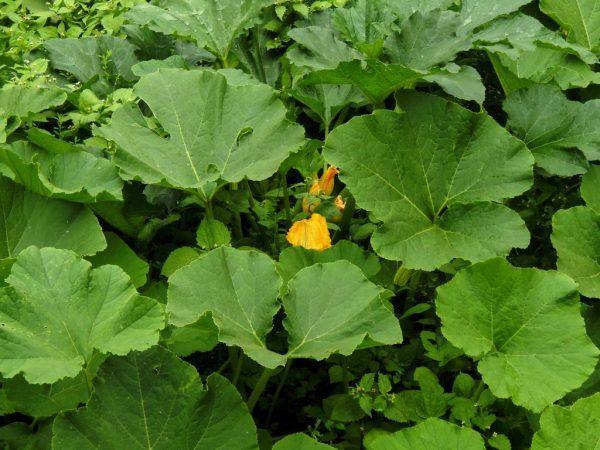 Поливати рослину слід строго під корінь