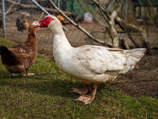 Жените на закрито принадлежат към породата месо. Патешкото месо се счита за деликатес. Той е немазен, много питателен, с високо съдържание на протеини