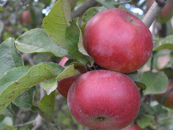 Препоръчва се да се яде по една ябълка на ден.